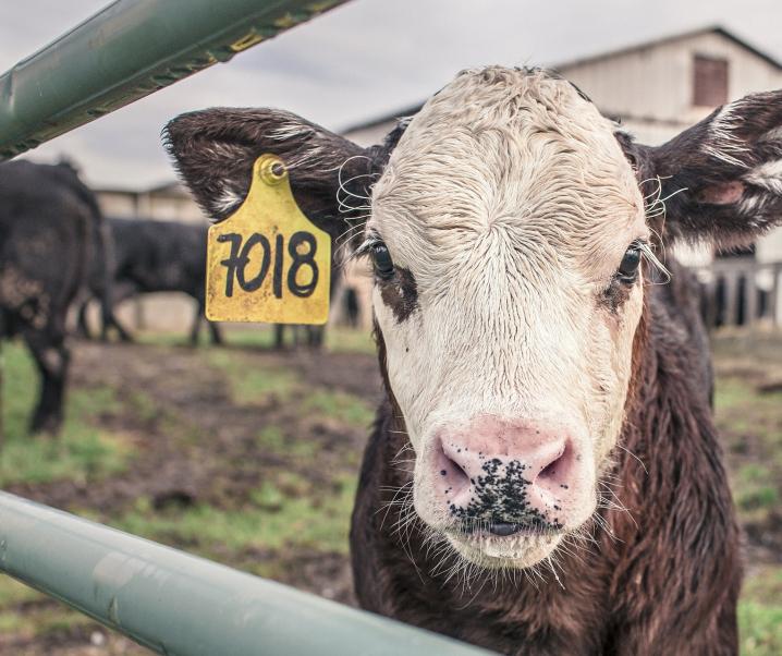 Neue Informationen zum Krebskeim in Kuhmilch und Rindfleisch