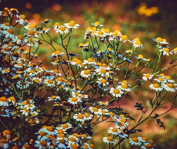 Mutterkraut: Eine unauffällige, aber vielfältige Heilpflanze