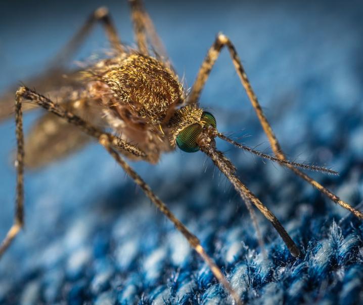 Wie gefährlich sind die neuen genmanipulierten Mücken wirklich?