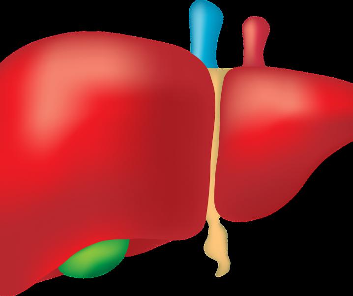Eine frühzeitig erkannte Fettleber ist reversibel