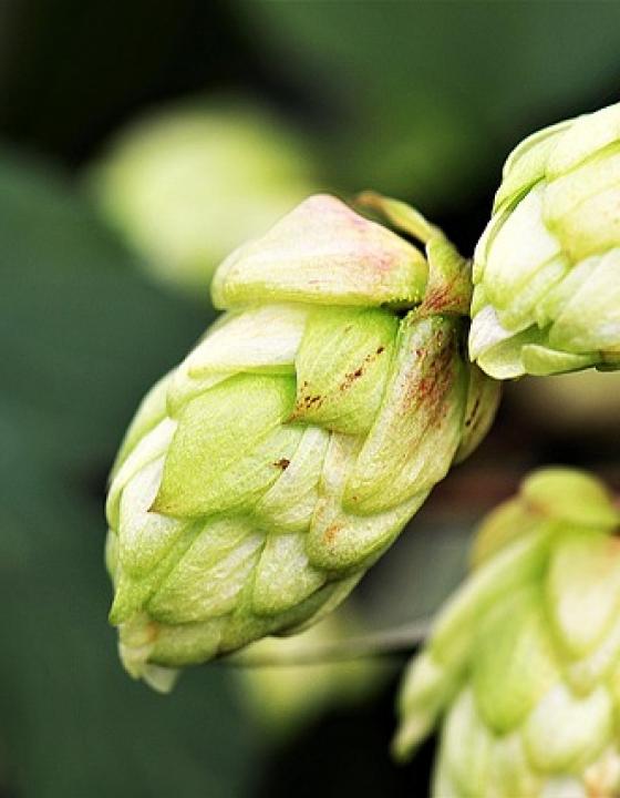 Hopfen als innovatives natürliches Heilmittel?