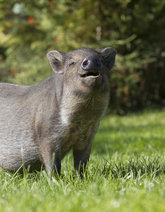 Afrikanische Schweinepest schafft es zur deutschen Grenze – Grund zur Sorge?
