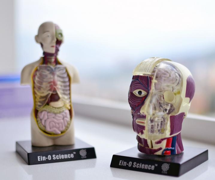 Forscher finden ein neues Organ im Bauchraum