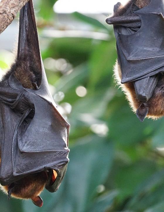 Neues Coronavirus in indischen Fledermäusen gefunden