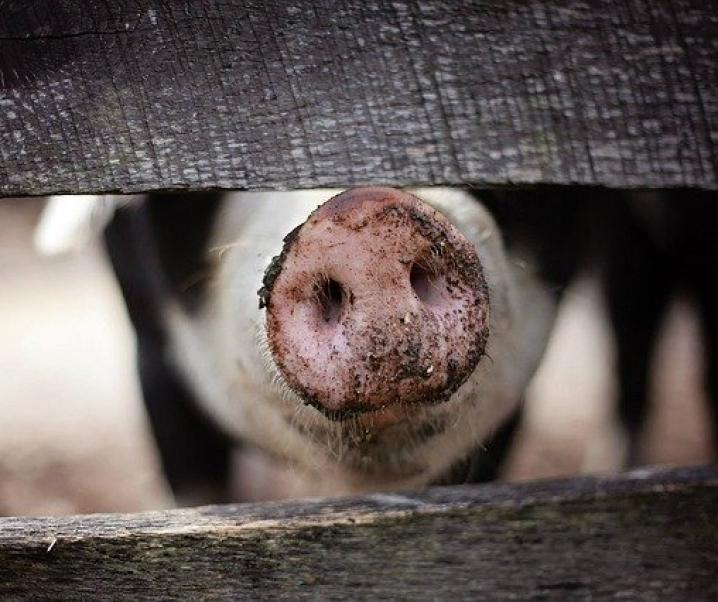 Achtung Pandemiepotenzial: Neue Art der Schweinegrippe in China entdeckt