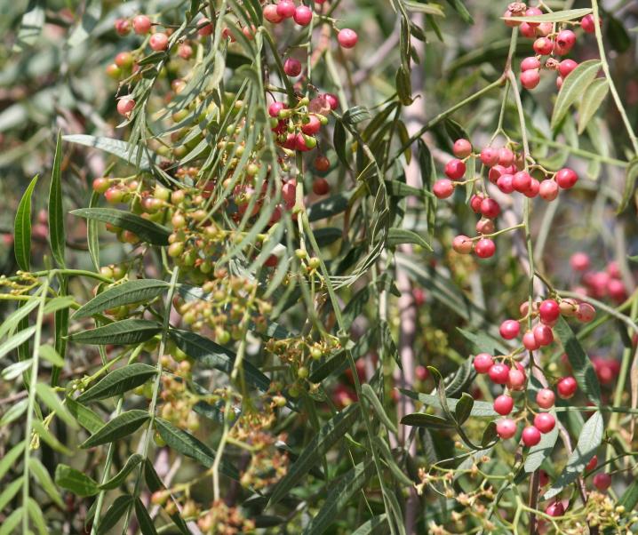 Dieser Baum ist die Lösung gegen antibiotikaresistente Bakterien