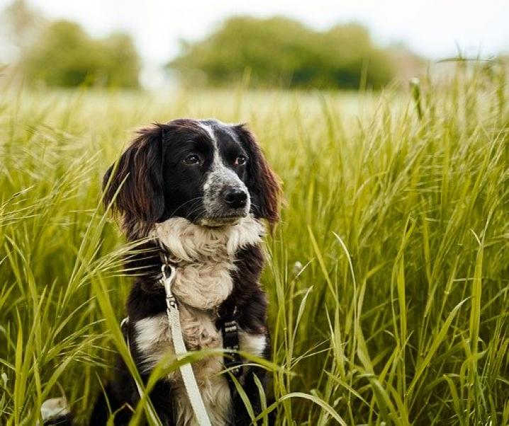 Achtung Zeckenalarm: Braune Hundezecke vermehrt sich auch in der Wohnung