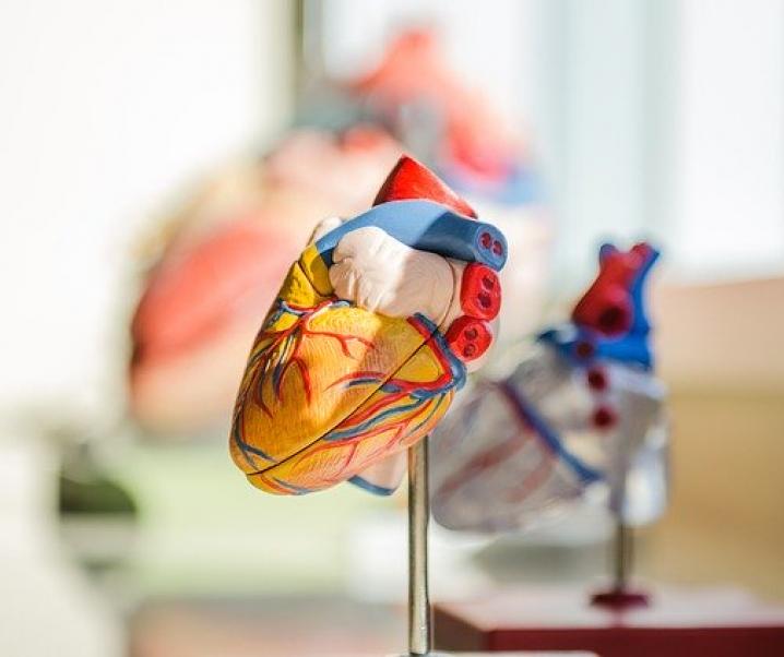 Coronaviren befallen auch das Herz