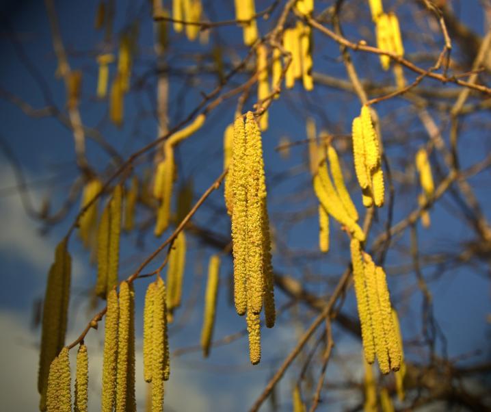 Pollenallergie: Saison dauert länger und beginnt früher