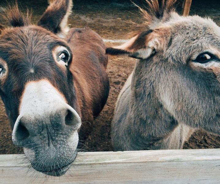 Tierische Hilfe: Esel als Unterstützung bei Hepatitis-B