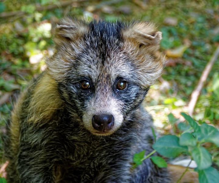 Marderhund als SARS-CoV-2-Überträger: Sind Fledermäuse zu Unrecht die Hauptverdächtigen?