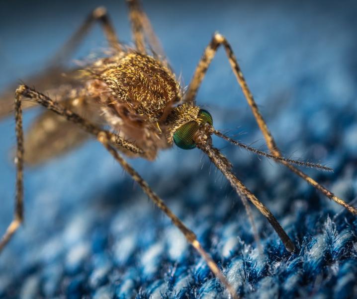 Spiel mit dem Feuer: Gentechnisch veränderte Mücken sollen Malaria eindämmen