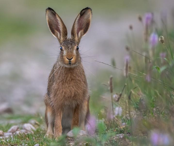 Rätsel um Hasenpest-Übertragung gelüftet: Könnte als potenzielle Biowaffe genutzt werden
