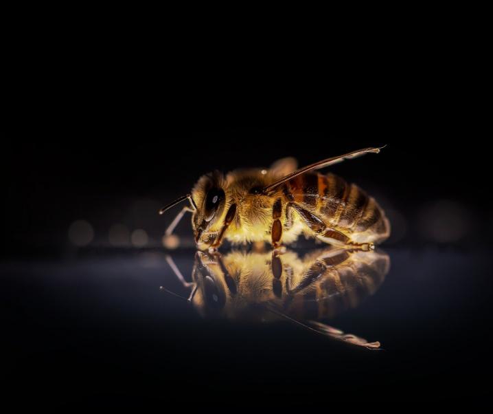 Tierische Schnelltests: Trainierte Bienen sollen Corona erschnüffeln