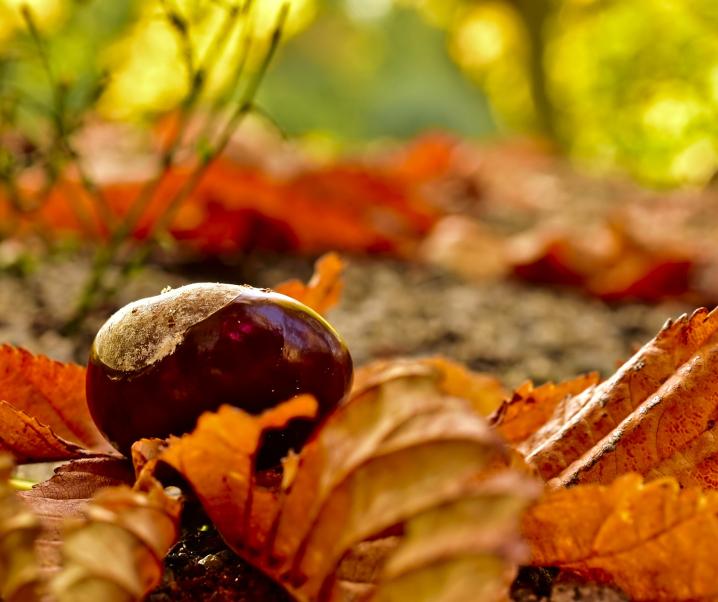 Wundermittel Edelkastanie hilft im Kampf gegen resistente Keime