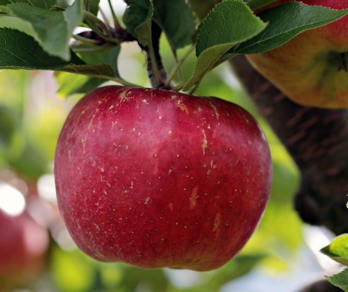 Herzförderndes Obst: So verringern Äpfel das Erkrankungsrisiko