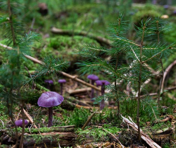 Tödliche Doppelgänger: So minimieren Sie das Risiko beim Pilze sammeln